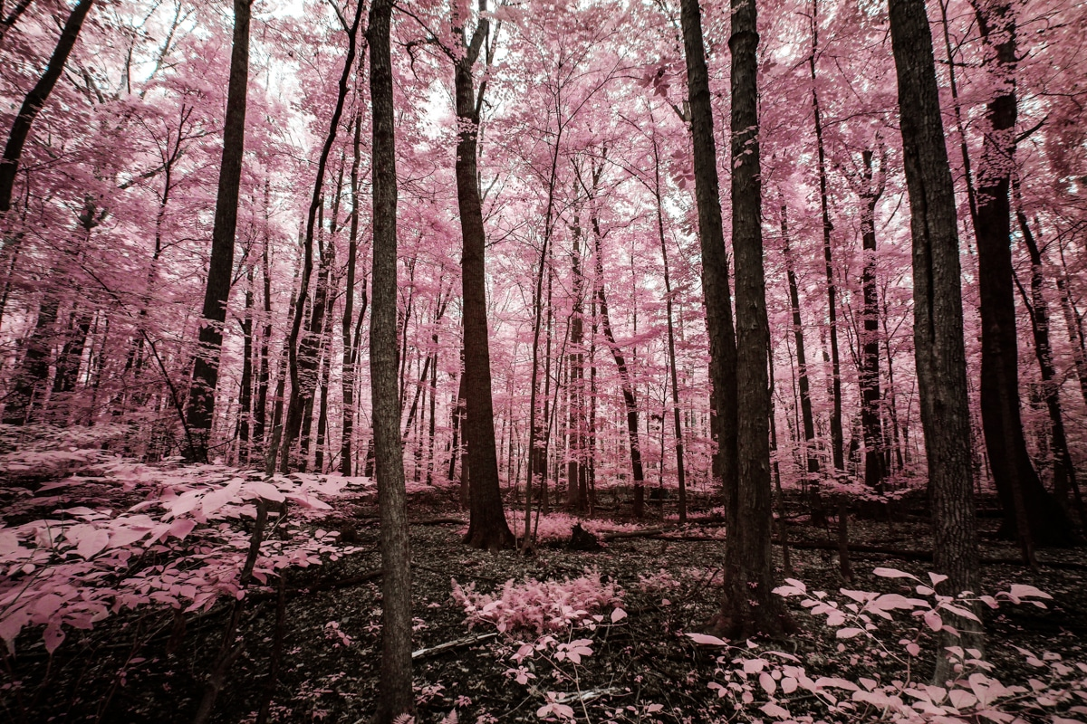 Pink Trees at Sandy Ridge in North Ridgeville, OH in Infrared