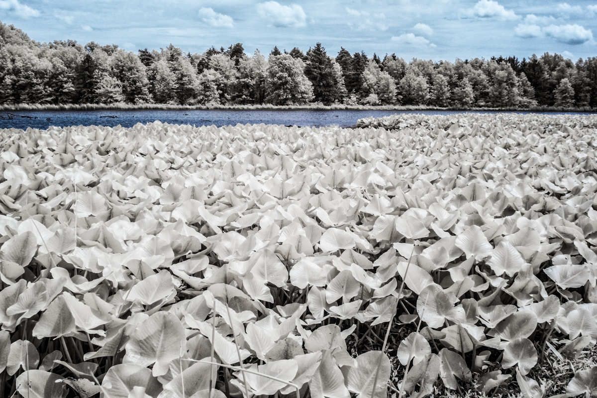 Lilly Pads at Sandy Ridge in North Ridgeville, OH in Infrared